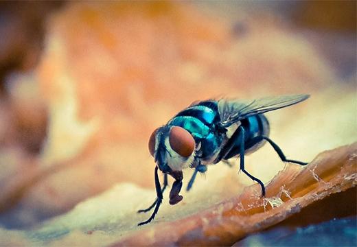 голубая муха